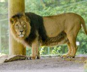 Lion lookout