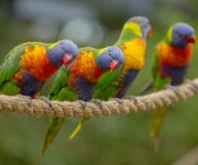 Lorikeet Lookout reopens