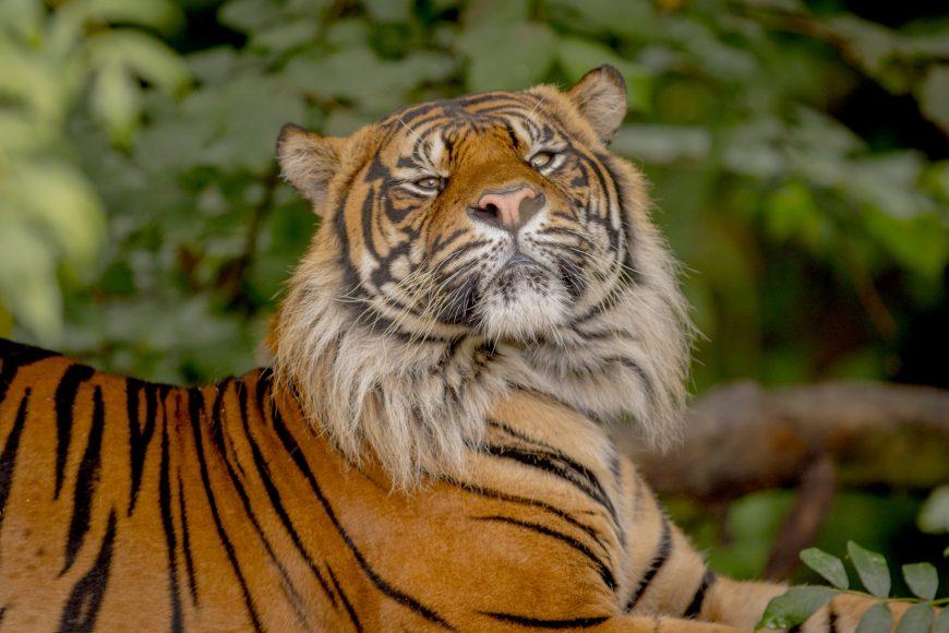 Joao tiger