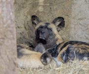Warm wild dogs!