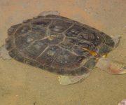 Turtle (Giant Asian Pond)