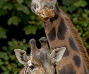 Giraffes in the spotlight