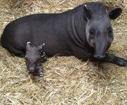 A baby tapir!