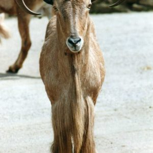 Barbary Sheep Photo