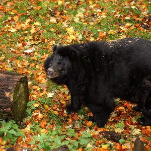 Bear Inca Photo