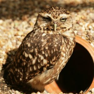 Burrowing Owl Photo Rumpowl