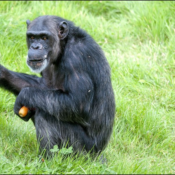Chimp Fanny 2016