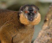 Lemur (Collared)