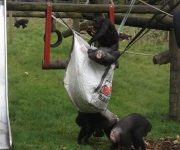 Chimps' autumnal enrichment