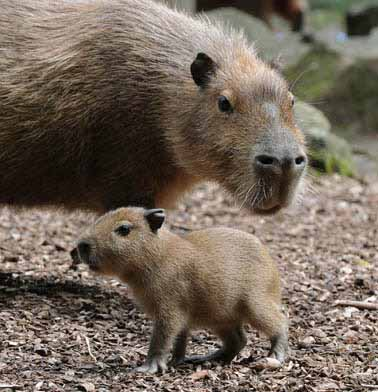 Baby capybara meets visitors