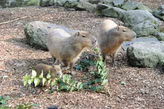 Baby capybara's first Xmas