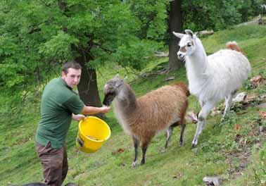 New llamas get L-plates!