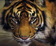 Tiger (Sumatran)