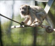 Monkey (Black Howler)
