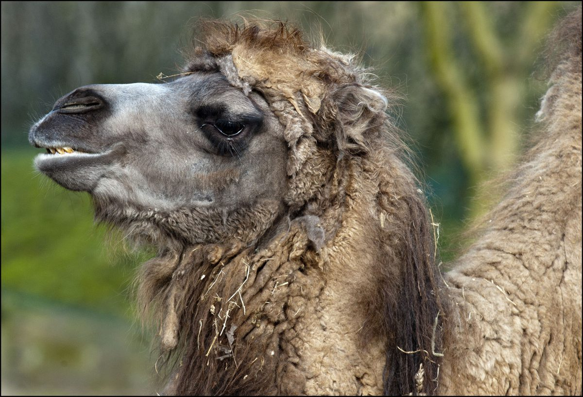 Camel Bactrian Dudley Zoological Gardens