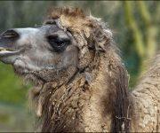 DZG_Bactrian_Camel_5