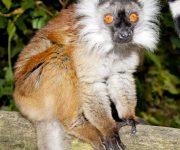 Lemur (Black Lemur)