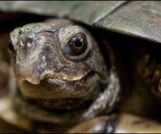 Turtle (Florida Box)