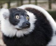 Lemur (Black-and-white-ruffed)