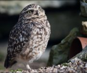Owl (Burrowing)