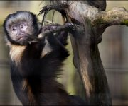 Capuchin (Yellow-breasted)