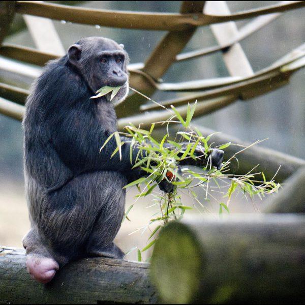 DZG_Chimps_Bamboo_4