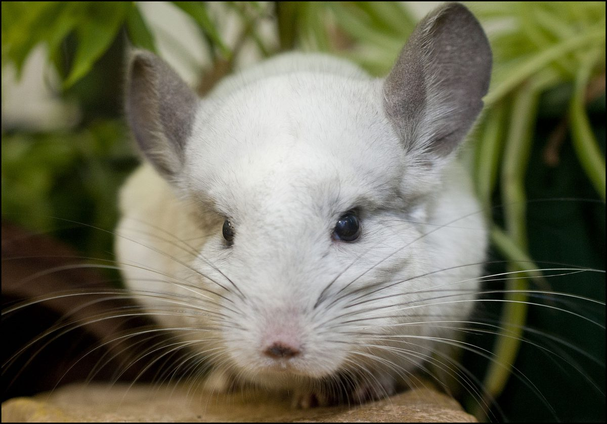 Chinchilla Dudley Zoological Gardens