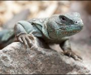 Lizard (Eyed dabb Lizard)