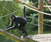 Spider Monkey (Colombian Black)
