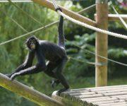 Spider Monkey (Colombian Black)