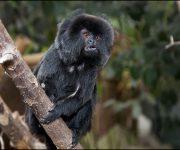 Monkey (Goeldi's)