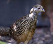 Pheasant (Golden)