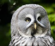 Owl (Great Grey Owl)