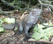 Iguana (Rhinoceros)