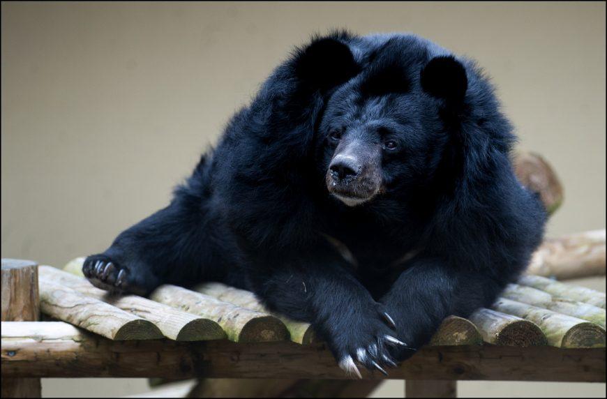 dzg_inca_bear1