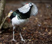 Pheasant (Lady Amherst's)