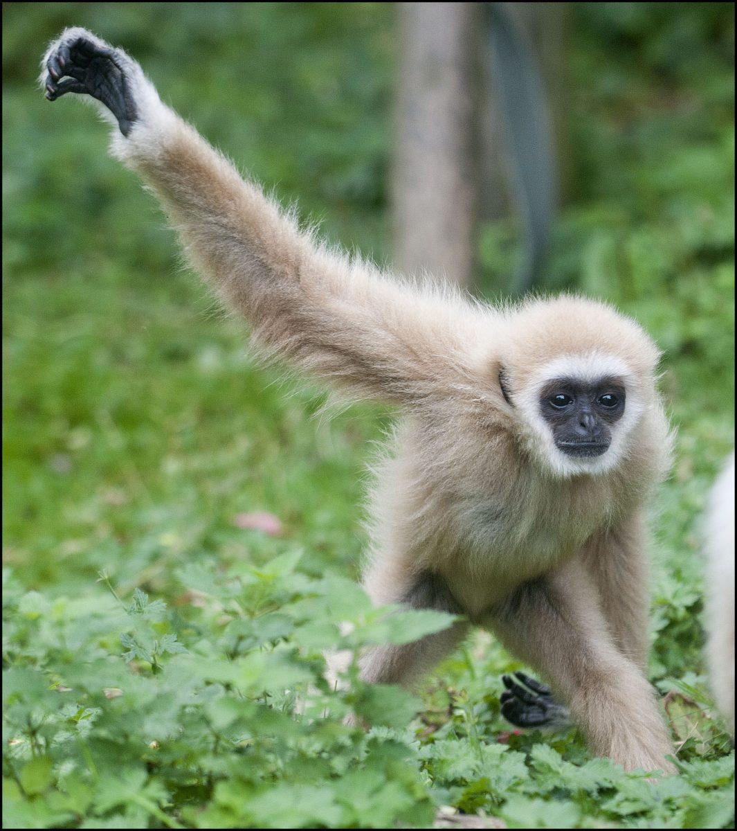 Gibbon (Lar) - Dudley ...