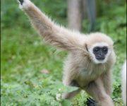 Gibbon (Lar)