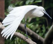 Egret (Little)