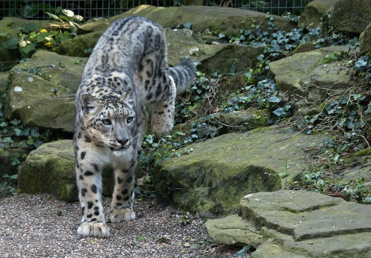 Search snow leopard porn