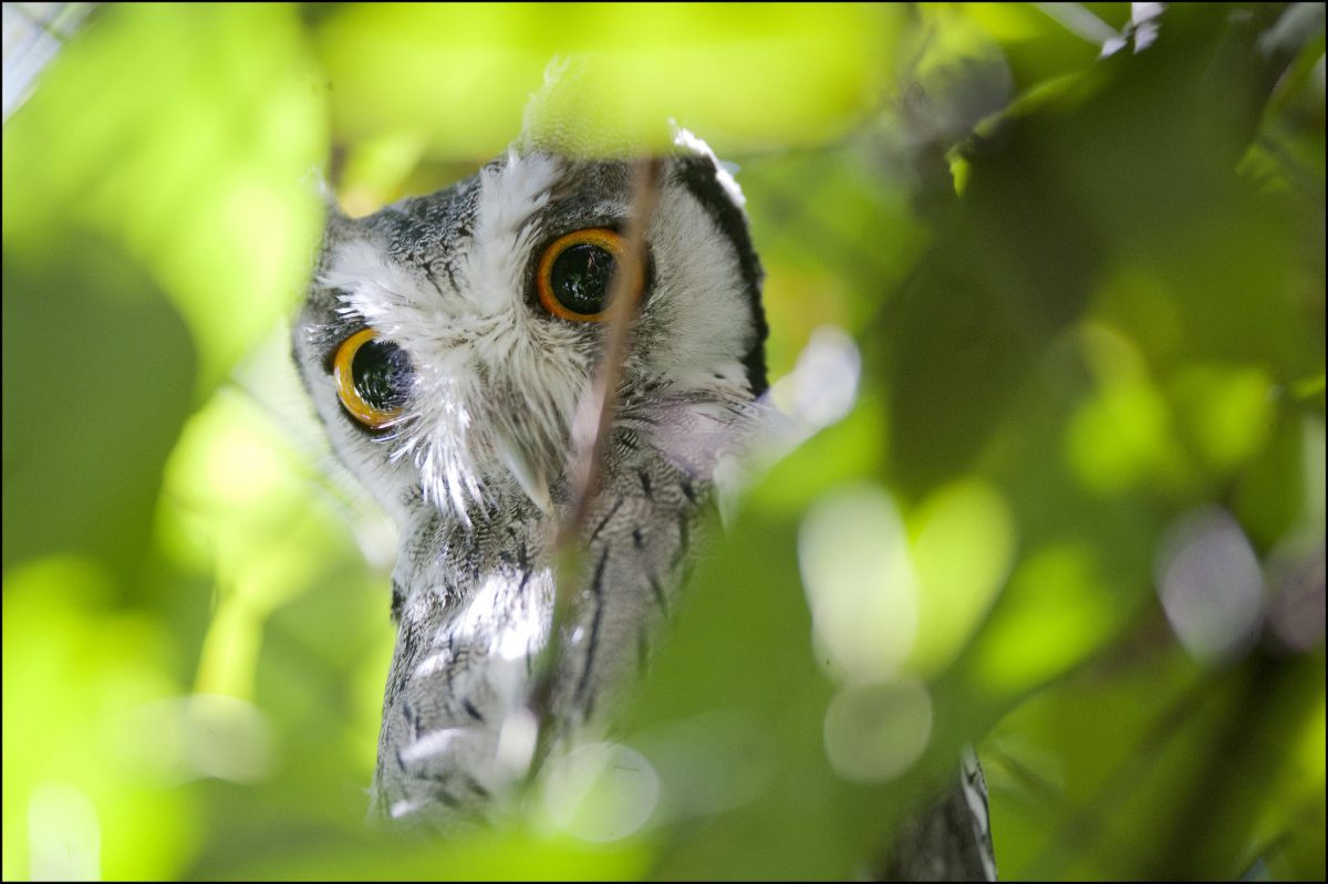 owl  northern white-faced