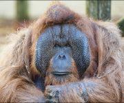 Orangutan (Bornean)