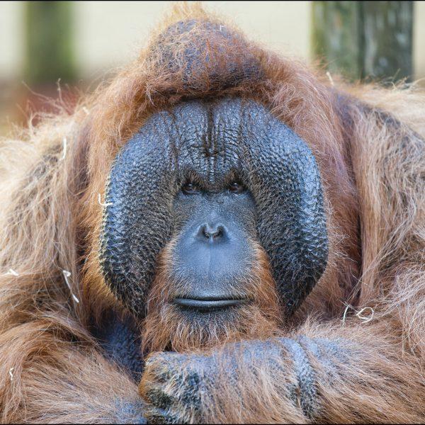 DZG_Orangutan_9