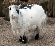 Goat (African Pygmy)