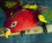 Lory (Yelllow-backed Chattering)