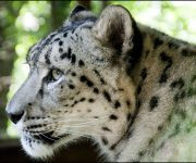 DZG_Snow_Leopards_4