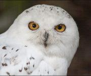 Owl (Snowy)