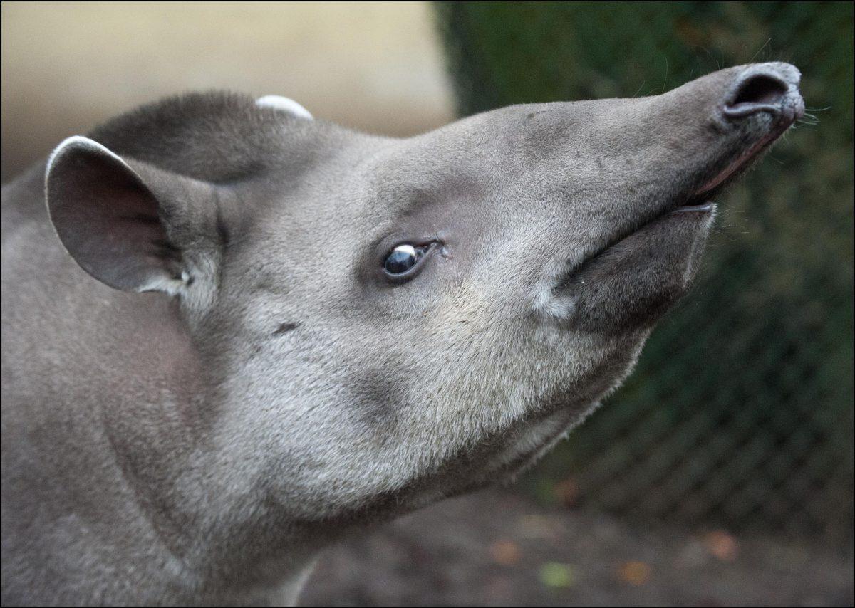 Tapir Brazilian Dudley Zoological Gardens