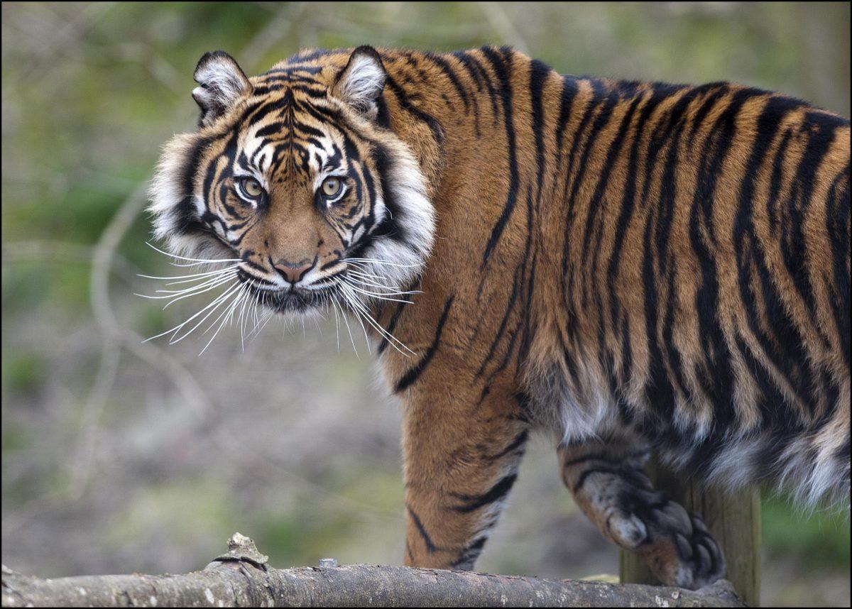 Tiger Sumatran Dudley Zoological Gardens