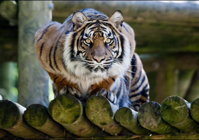 dzg_tigers_daseep_stare1